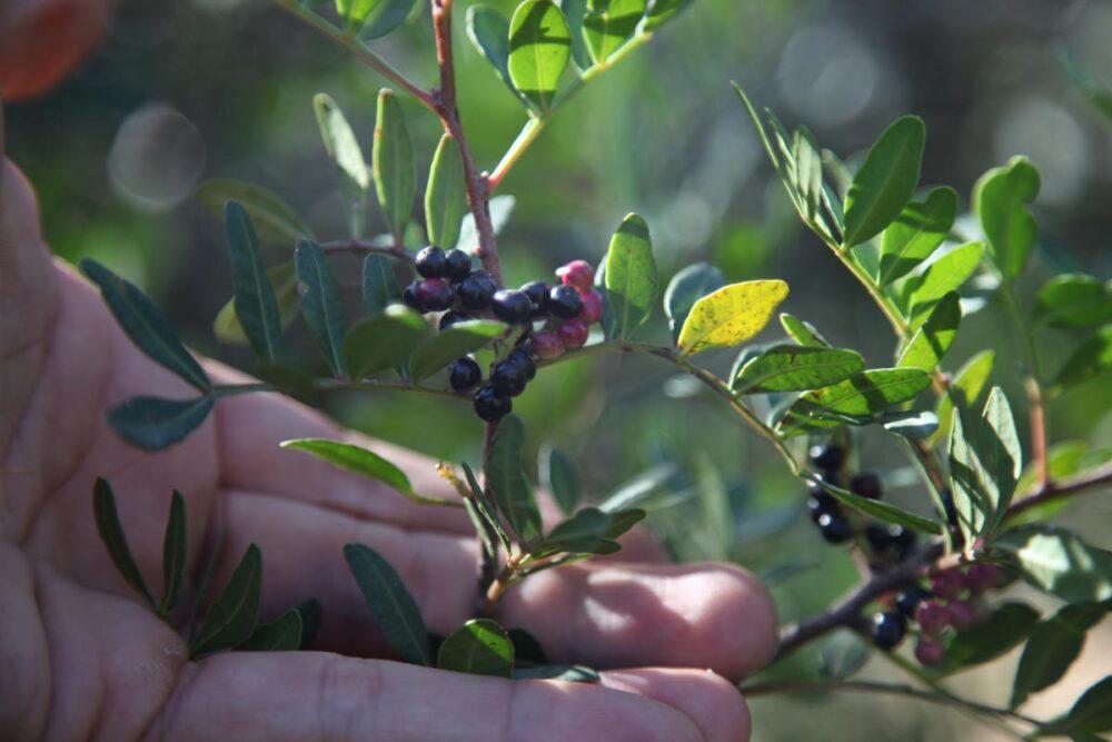 Main tenant une branche de pistachier lentisque